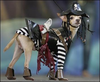 pirate chihuahua