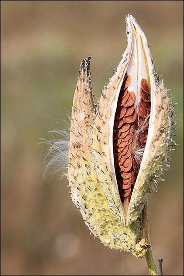 Milkweed-in-seed