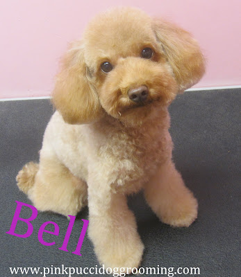 Cute Toy Poodle Haircuts Bell the toy poodle