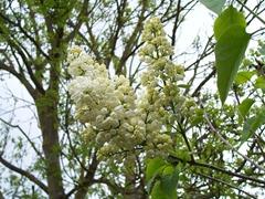 White lilac bush