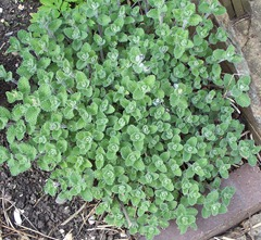 Cat mint - catnip - catsigh - April