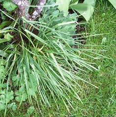 Garlic planted at the base of a rose bush