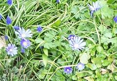 Anemones in April