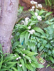 Ramsons - wild garlic