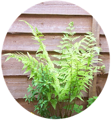Pale green fern