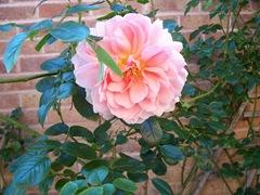 Englsih rose