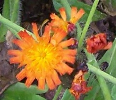 Fox-and-cubs - small picture