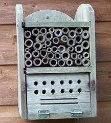 Leaf-cutter bee cleaning bamboo chamber - facing forwards