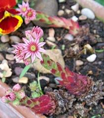 Cobweb Houseleek or Ice Plant