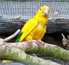 Rare - bright yellow macaw from Chile