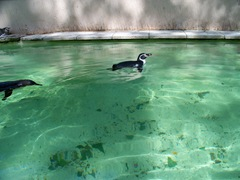 Humbold Penguins  swimming