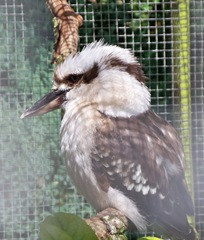 Kookaburra aka Laughing Jackass - belongs to the Kingfisher family - carnivorous