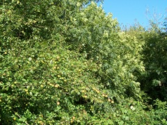 Crab apples - wild apple trees in England
