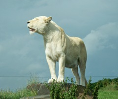 White lion - female