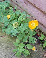 Perennial poppy – usually known as either 'the Welsh poppy' or 'the Scottish poppy'