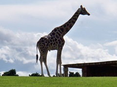 Male giraffe - in the distance