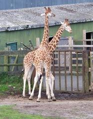 Giraffe x 2