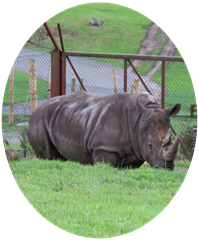 Two horned rhinoceros