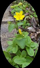 Monkey Musk - Monkey Flower - Mimulus