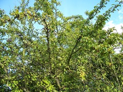 Wild Crabb apple tree