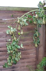 Conference Pear Tree branch