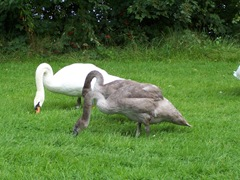 Swans - the cob with a cygnet