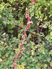 White Bryony berries
