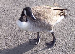 Solitary Canada goose