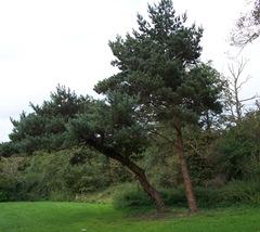 Pine tree at Arrow Valley Lake