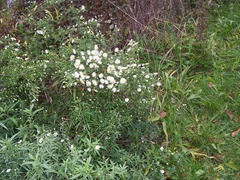 Wild White Aster - October