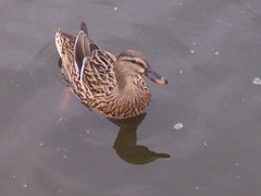 Mallard female or duck