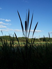 Great Reedmace which is also called Bulrush - taken at twilight or dusk at Ipsley, Redditch, Worcestershire, England - height approx 8 feet