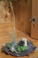 Tillandsias - or Air plants