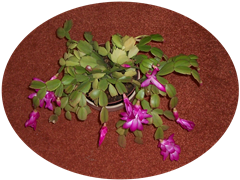 Christmas flowering cactus