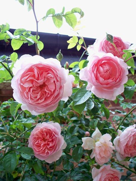 Pink Rambling Rose sugary sweet