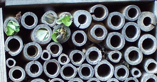 Leaf cutter bee constructing sealed chamber