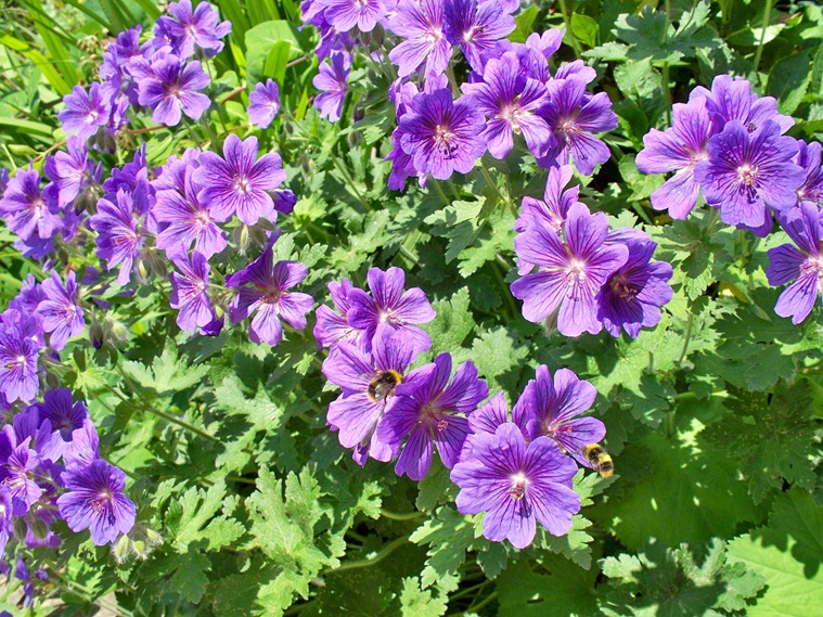 Blue geranium - hardy perennial attracts the bumble bees