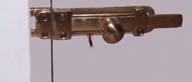Earwig - common