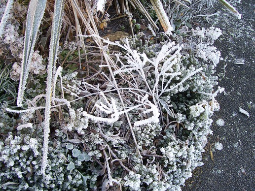 The garden border plants covered in hoarfrost