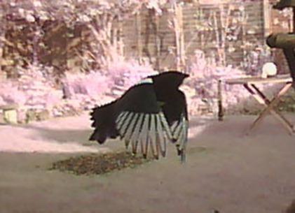 Marvellous magpie