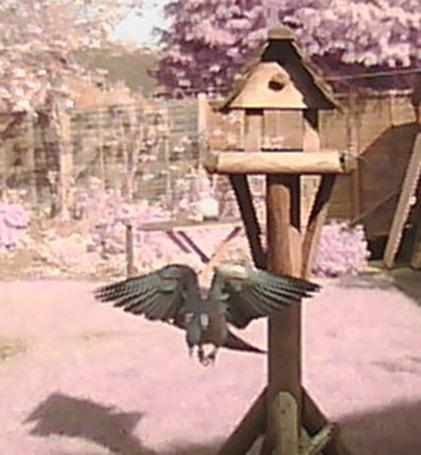 Pigeon pause