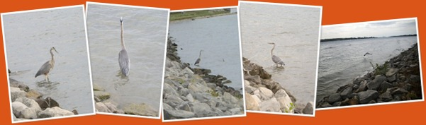View The Great Blue Heron