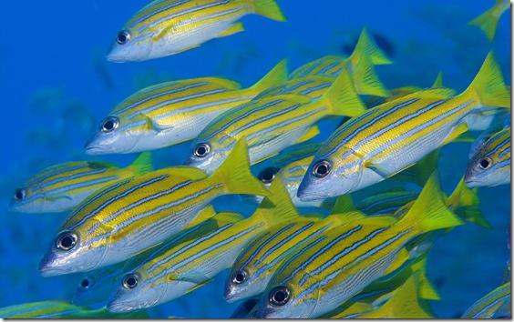 Bluelined snappers (Lutjanus Kasmira), Maldives