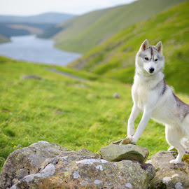 by Paweł Prus - Animals - Dogs Portraits ( intelligent, scotland, almond, breed, canis, spitz, pull, white, show, siberian, harsh, sled, siberia, portrait, colour, color, female, family, icee, husky, grey, working, coat, sibe )