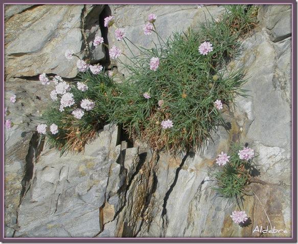 flores de roca
