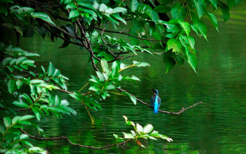 翠鳥 @ 大安森林公園