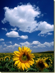 BN3385_7-FB~Sunflowers-in-Anatolia-Turkey-Posters