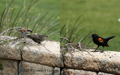 Redwing Blackbird--female (left foreground) male (right)