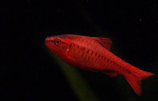 Odessa barb confusion 35030 for Cherry barb fish