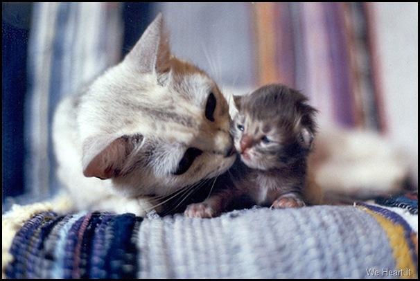 Gatos-Mamãe-Filhote